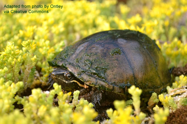 Common musk turtle, also known as a 'stinkpot,' basking among some yellow flowers