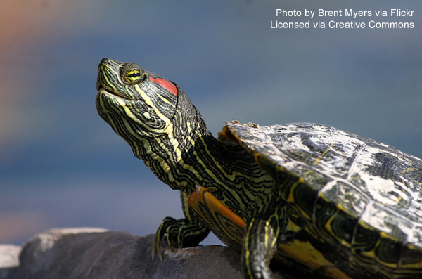Red-Eared Slider Turtle basking on a rock