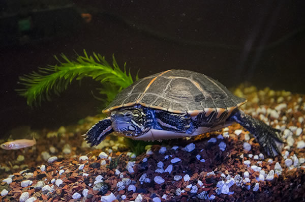 How to Set Up an Aquatic Turtle Tank