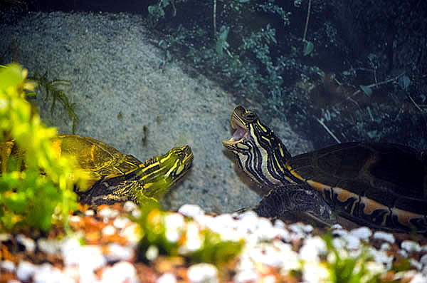 Housing More than One Turtle in the Same Tank