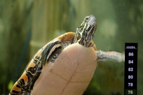 A Turtle Swimming In A Tank, With The Stick On Thermometer Visible In The