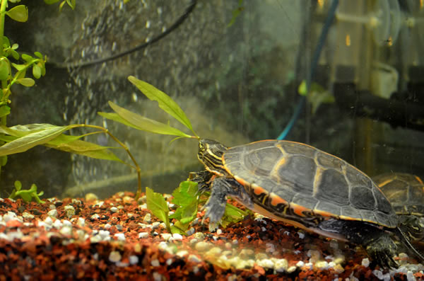 Turtle in a tank with the substrate visible
